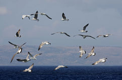 Flock of seagulls. Lesbos, Greece Royalty Free Stock Photos
