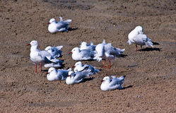 A Flock of Seagulls. All grouped together on the beach Stock Photography