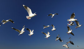 A Flock of Seagulls. In flight against the deep blue sky Royalty Free Stock Image