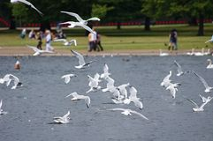 Flock of seagulls. In Hyde Park in London Royalty Free Stock Photo