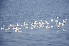 Flock of Seagulls. Royalty Free Stock Photos