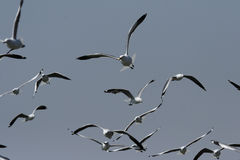 A flock of seagulls. Flying in the sky in Namibia royalty free stock image