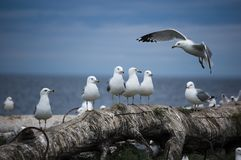 A flock of seagulls Stock Photos