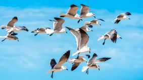 A flock of seagulls against a blue sky, Miami, Florida, USA. With selective focus stock photography