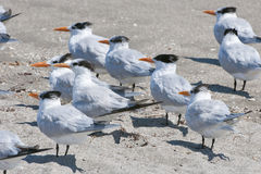 Flock of seagulls on beach royalty free stock photography