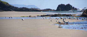 Flock of seagulls Royalty Free Stock Image
