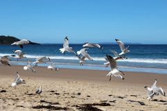 Flock of seagulls on beach. Flock of seagulls flying on Beach Stock Image