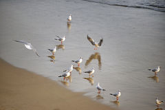 Flock of seagulls on the beach Royalty Free Stock Image