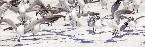 Flock of seagulls at the beach Stock Photography