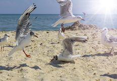 Flock of seagulls on the beach on a summer sunny day royalty free stock image