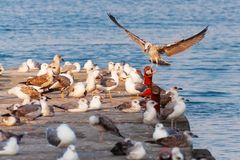 A flock of seagulls on the breakwater. Stock Images