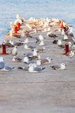 A flock of seagulls on the breakwater. Royalty Free Stock Photography