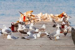 A flock of seagulls on the breakwater. Royalty Free Stock Photos