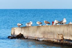A flock of seagulls on the breakwater. Royalty Free Stock Photo
