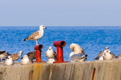A flock of seagulls on the breakwater Royalty Free Stock Images