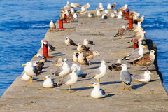 A flock of seagulls on the breakwater Royalty Free Stock Image