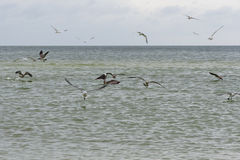 Flock of seagulls  and brown pelican Royalty Free Stock Photo