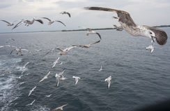 A flock of seagulls Stock Photography