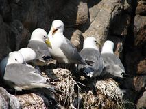 Flock of seagulls on cliff on Lofoten Stock Photo