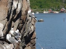 Flock of seagulls on cliff on Lofoten Royalty Free Stock Photo