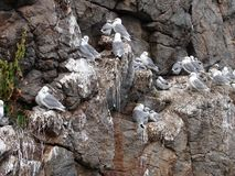Flock of seagulls on cliff on Lofoten Stock Photography