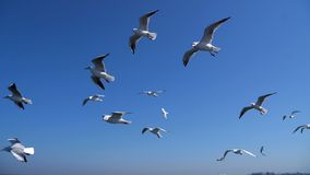 Flock of Seagulls close following the cruise ship. Flying against beautiful sky stock footage