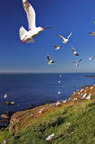 A Flock of Seagulls on Coast. A flock of seagulls in flight at the coast Royalty Free Stock Image