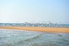A flock of seagulls. Coastal, wild beach India, a flock of seagulls Stock Images
