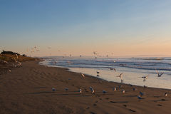 Flock of seagulls on deserted beach at sunrise Stock Photos