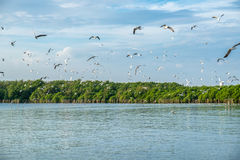 Flock of seagulls emigrate flying in mangrove forest at gulf of Royalty Free Stock Photos