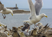Flock Of Seagulls Feeding Royalty Free Stock Photo