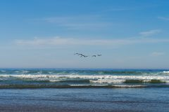 A flock of seagulls flies over the Pacific Ocean in Cannon Beach, Oregon, USA. royalty free stock photography