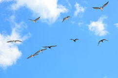 Flock of seagulls in flight Royalty Free Stock Image