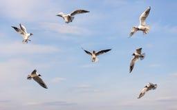 Flock of seagulls in flight Royalty Free Stock Photos