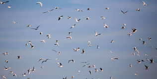 Flock of seagulls in flight Stock Photography