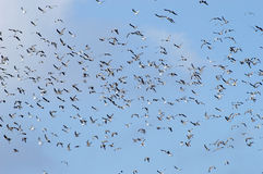 A flock of seagulls Royalty Free Stock Photos