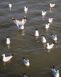 A flock of seagulls. Are floating on the sea Royalty Free Stock Image