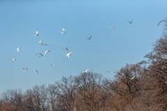 Flock of seagulls Royalty Free Stock Photography