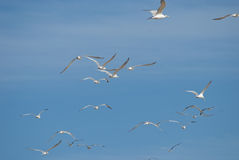 Flock of seagulls flying Royalty Free Stock Photos