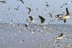 Flock of seagulls flying Stock Photos