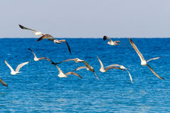 A flock of seagulls flying above the sea. Stock Images