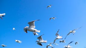 The flock of Seagulls are Flying against beautiful sky stock footage