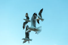 Flock of seagulls flying with blue sky background Royalty Free Stock Photo