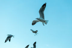 Flock of seagulls flying with blue sky background Stock Images