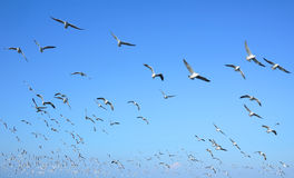 Flock of seagulls flying Stock Images