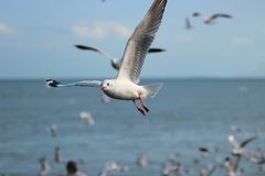 Flock of seagulls flying in the blue sky over sea Science name is Charadriiformes Laridae . Selective focus and shallow depth o royalty free stock photography