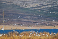 Flock of seagulls flying over the nesting place Stock Photo