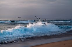 Sunset on the beach, big waves and flock of birds, Guadalupe Dunes National Wildlife Reserve, California royalty free stock photos