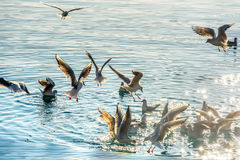 Flock of seagulls flying over the sea Royalty Free Stock Image
