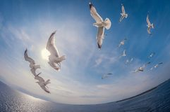 Flock of seagulls flying over the sea with a background of blue sky, fisheye distortion. Flock of seagulls flying over the sea with a background of blue sky and royalty free stock images